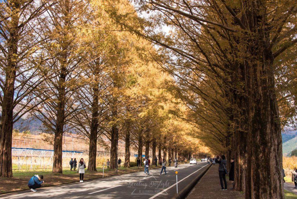 滋賀 Makino 水杉大道