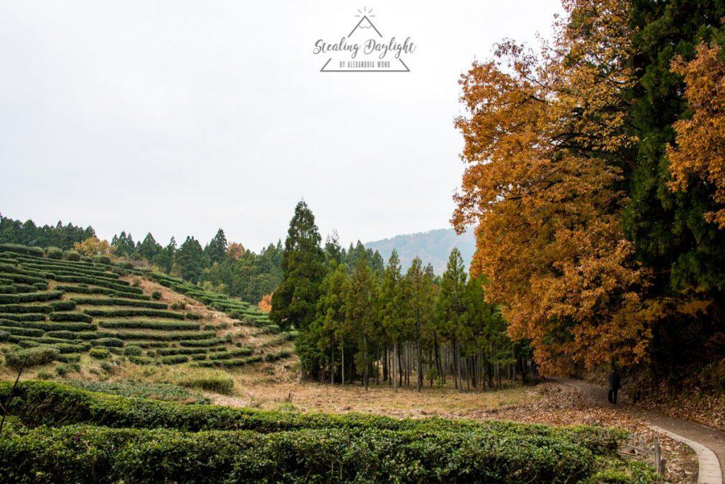 滋賀 雞足寺 龜山 茶畑