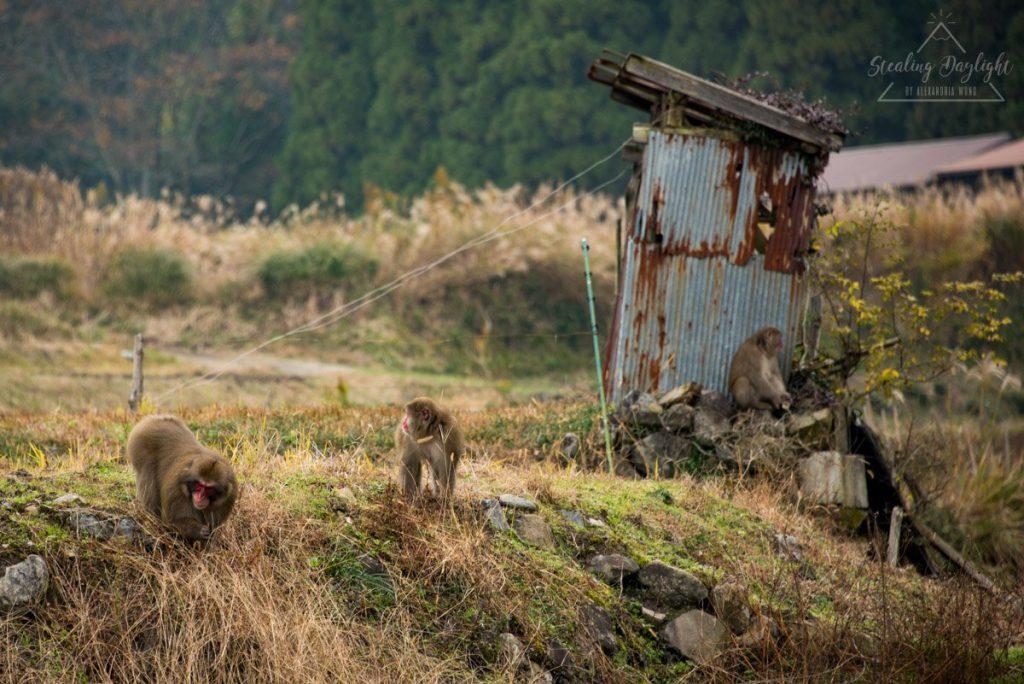 滋賀 雞足寺 藥草園 猿
